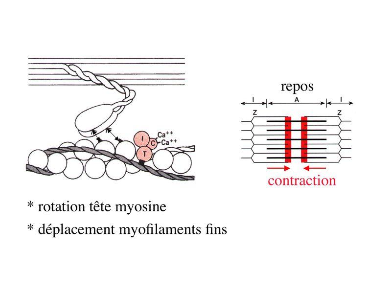 réticulum endoplasmique lisse rôle
