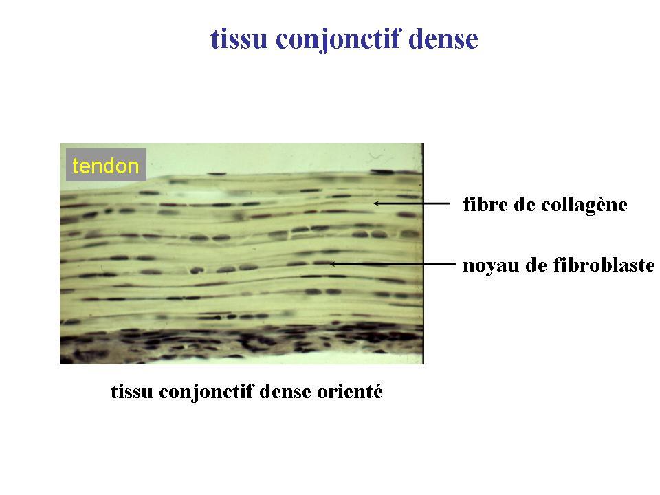 Fonction Principale du Tissu Conjonctif