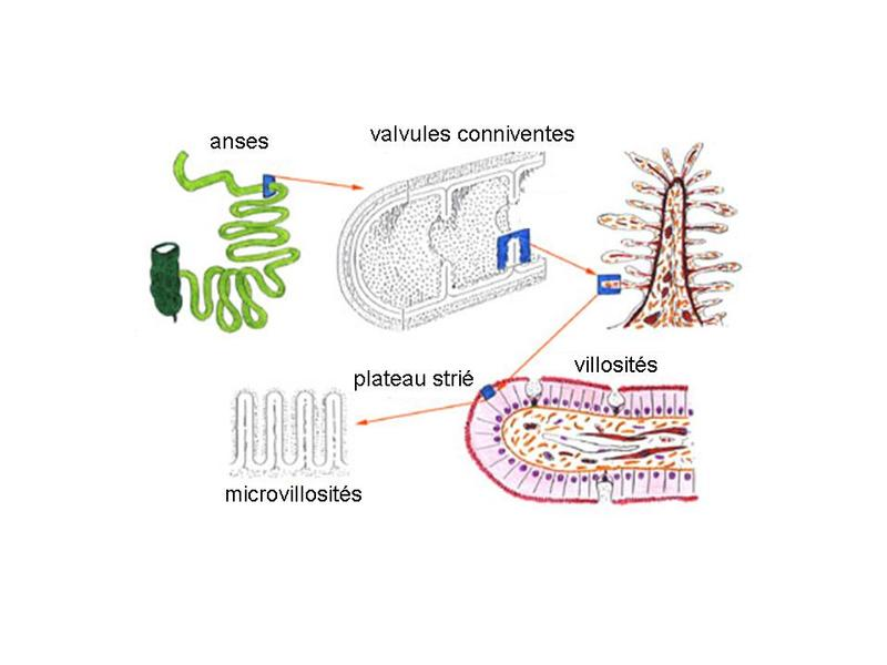 Plateau strié entérocytes