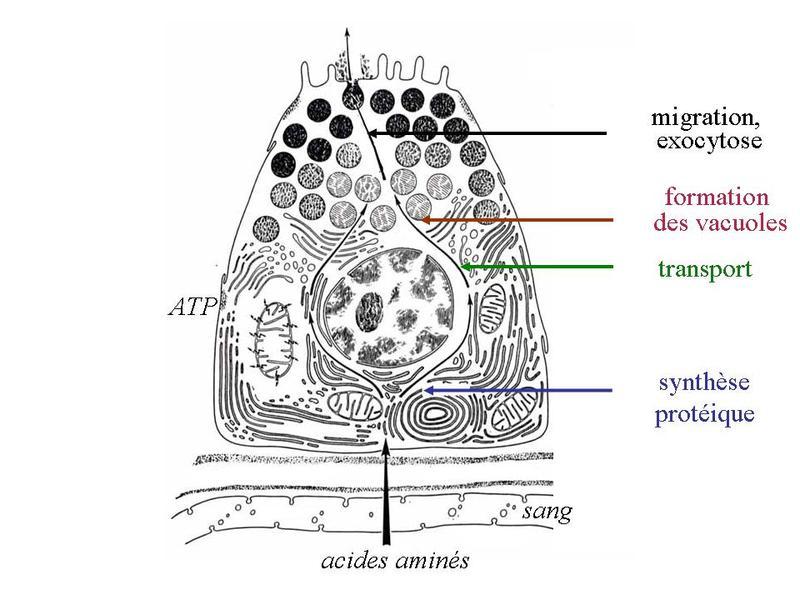 exemple de glande amphicrine