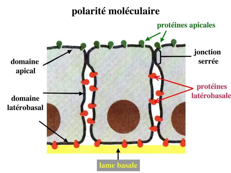 Fonction du Tissu Épithélial